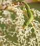 Lizard licking the pollen of the Thatch Palm Blooms
