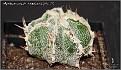 Astrophytum myriostigma X (ormy-dinosaur-haku jo)