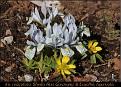 Iris reticulata 'Sheila Ann Germany' & Eranthis hyemalis