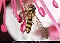 Meliscaeva cinctella - Gulbåndet Krattblomsterflue