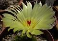 Notocactus ottonis 0196