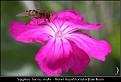 Syrphus torvus male - Håret Hageblomsterflue hann