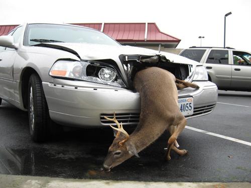 Electronic Deer Deterrent Could Prevent Over 1 Million