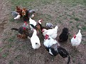 Happy Hens Poultry Farm Exercise and Snack Time!!!