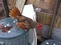 A Golden Seabright Bantam Rooster