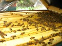 The Process of Extracting Honey / Inside the Hive.