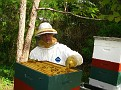 The Process of Extracting Honey / Checking for fully capped honey frames in the shallow super.