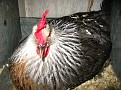 This is a Silver Gray Dorking Hen getting ready to lay an egg...