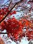 Red marple branch