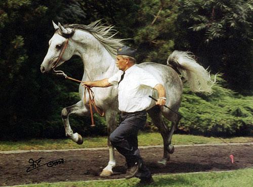 EMANOR (Wojslaw x Emanacja, by *Eukaliptus) 1993 grey stallion