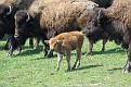Bison and Calf #3
