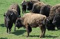 Bison Herd #9