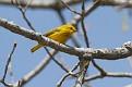 Yellow Warbler #3