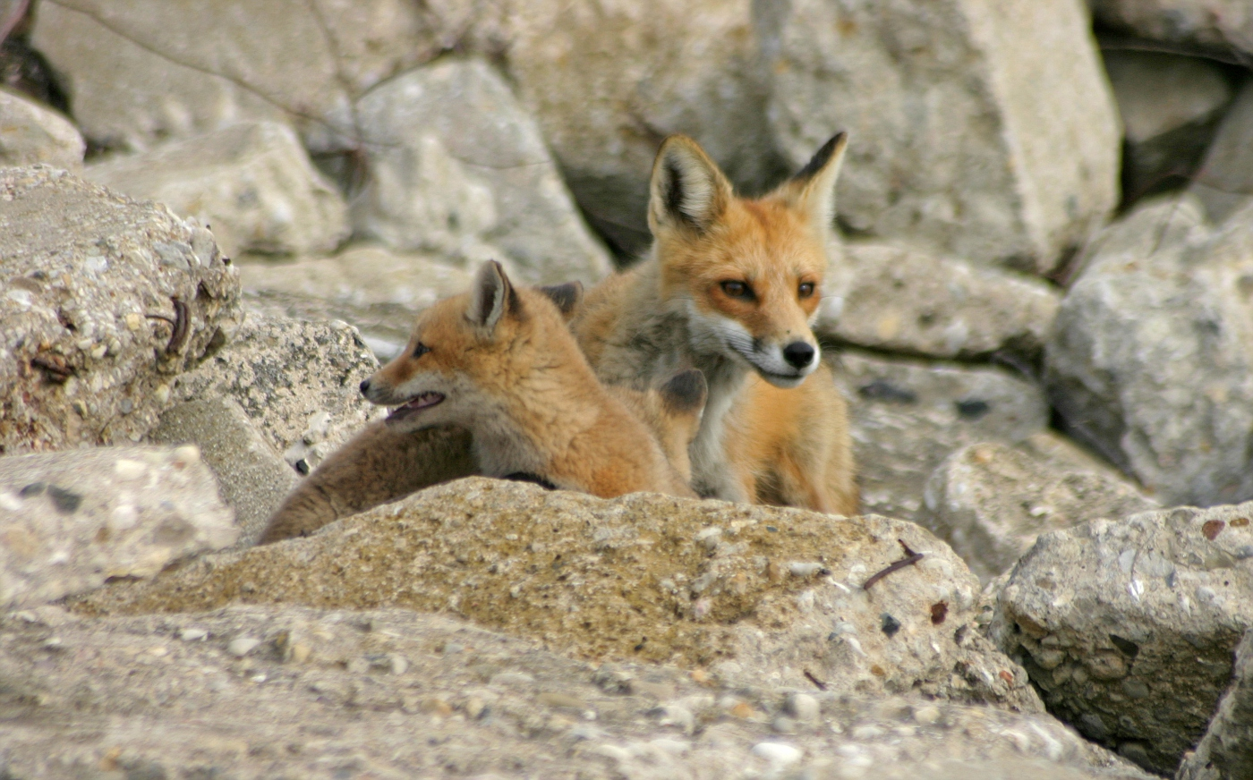 Red Fox Series #9