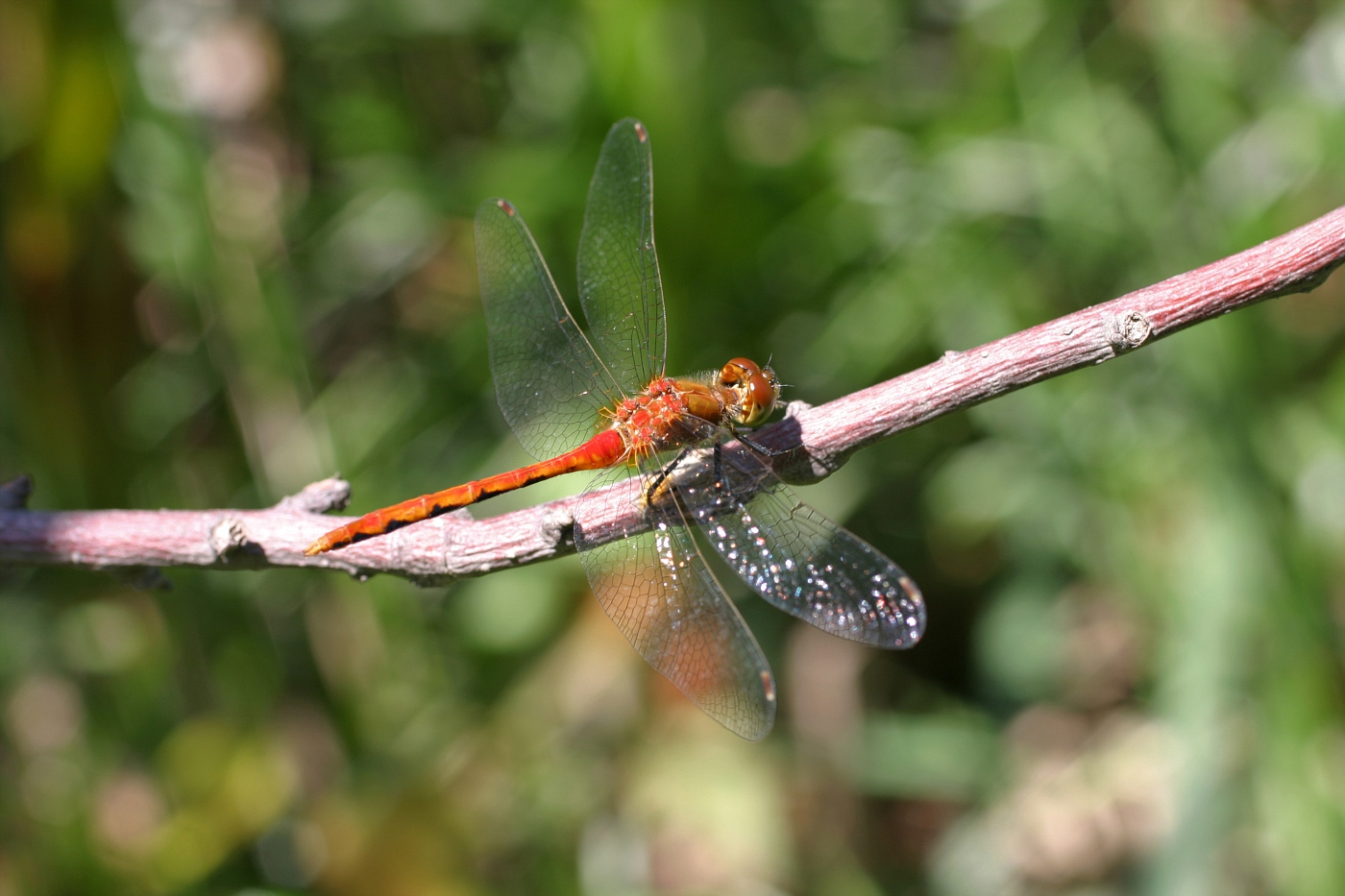 White-faced Meadowhawk 14