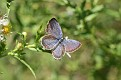 2011 Easatern Tailed Blue #2