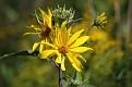 Woodland Sunflowers #3