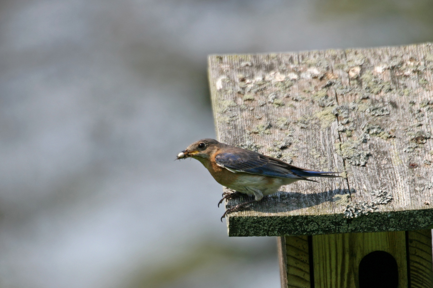 Female Bluebird #11