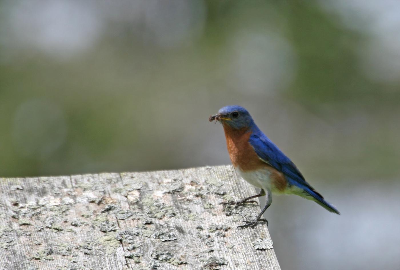 Male Bluebird #24