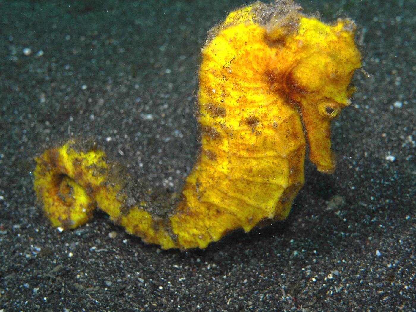 Pregnant Thorny Seahorse