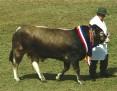Bazadais Cattle 001