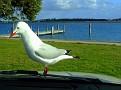 Bonnet Seagull 008