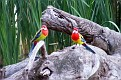 Eastern Rosella Forbes Wetland 130308 007