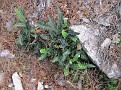 Ceterach officinarum  Asplenium ceterach (1)