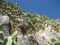 Opuntia (6)
