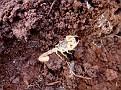 Σκορπιός - Mesobuthus gibbosus (6)