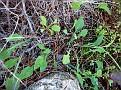 Aetheorhiza bulbosa (2)