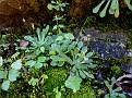 sedum or rosularia (4)