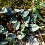 cyclamen graecum (5)