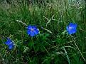 Geranium pratense (1)