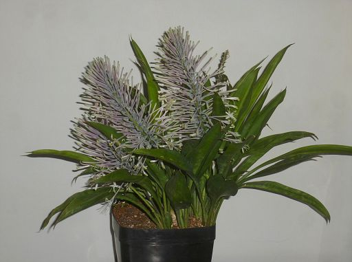Sansevieria concinna Pf collection (12)