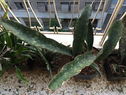 Sansevieria scimitariformis  (2)