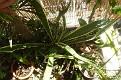Furcraea selloa (4)