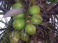 Coco Vert