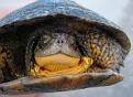 Blanding's Turtle (male)