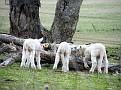 Lambs playing on Yarras Lane Bathurst 006