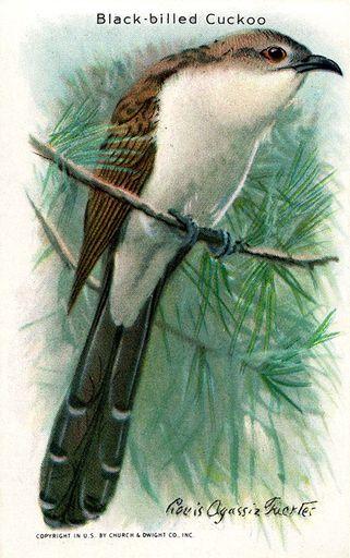 1938 Useful Birds of America Series 10 #04 (1)