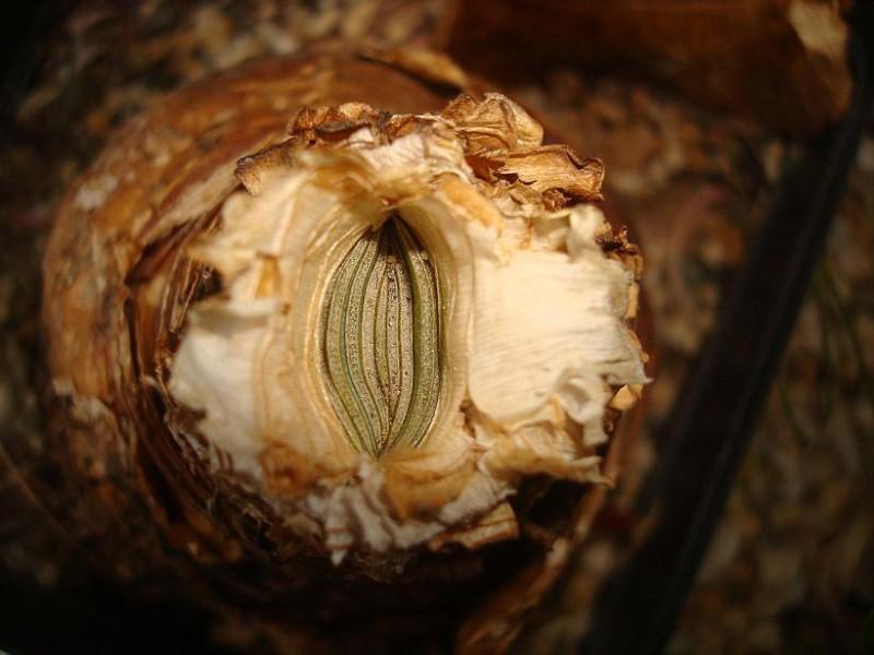 Ammocharis coranica