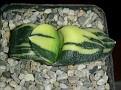 Gasteria armstrongii variegata Japan cv.