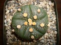 Astrophytum asterias x Japan hybrid - ping flower