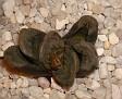 Haworthia truncata x pygmaea