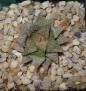 Haworthia emelyae var. major cv. HAKUMA