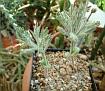 Eriospermum dregei