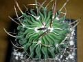 Echinofossulocactus phyllacanthus = Stenocactus phyllacanthus