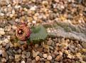 Apteranthes europea