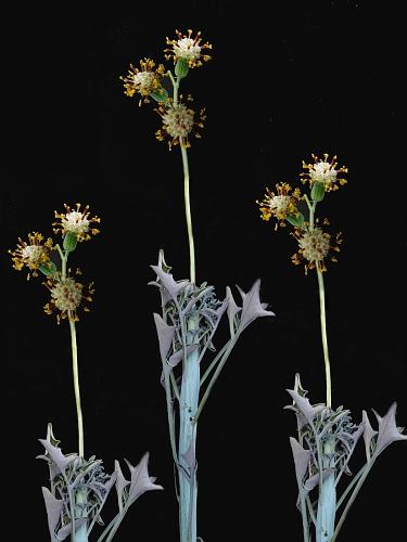 Kleinia cephalophora